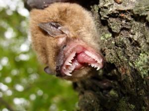 henrico virginia bat removal