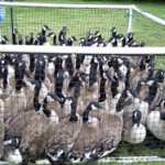 canada geese removal - roundup