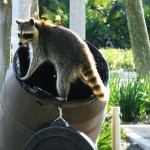raccoon removal charlottesville virginia