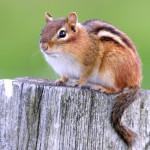 chipmunk removal - richmond and charlottesville va