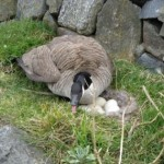 goose removal - canada geese