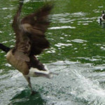 canada geese removal - dogs to scare goose