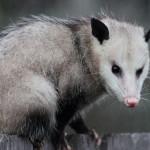 opossum removal charlottesville va